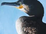 cormorantweb